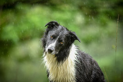 Sufference! (JJFET) Tags: border collie dog sheepdog