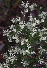 Eucalyptus wandoo ssp wandoo, Lesmurdie, WA, 13/07/17 (Russell Cumming) Tags: plant grevillea grevilleapilulifera proteaceae lesmurdie perth westernaustralia