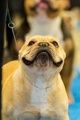 IMG_3436.jpg (Gathering the Light By Wade) Tags: abkc animal bully dog pitbull pitty