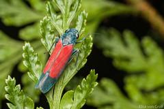 Leafhopper - Cardioscarta flavifrons (Signoret, 1853) (elisa_vg) Tags: cicadellinae cicadellini leafhopper arthropoda cigarrinha hexapoda auchenorrhyncha hemiptera hemiptero cicadoidea macro macrophotography macrofotografia nature animal bug inseto