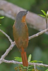 EC17b00478a (jerryoldenettel) Tags: 170702 2017 becard ecuador pachyramphus pachyramphusminor passeriformes pinkthroatedbecard sachalodge tityridae bird passerine