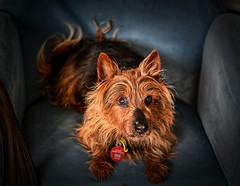 Ozzy (Kevin_Jeffries) Tags: dog pet ozzy kevinjeffries d7100 terrier portrait animal nikon australianterrier nikkor 50mm f18 indoor depthoffield dof grain texture iso2000