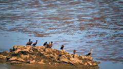 seabirds [ahninga ahninga] (Bernal Saborio G. (berkuspic)) Tags: seabirds panama sea beach nature wildlife birds sand reflection lowtide pacificocean