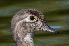 SummerWoodDuckHen (jmishefske) Tags: greenfield duck 2017 nikon lagoon westallis hern d500 wood july park milwaukee pond county wisconsin