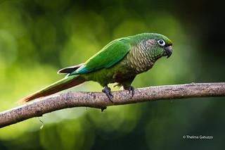 Maroon-bellied Parakeet (Pyrrhura frontalis)