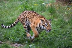 on the run (Mel.Rick) Tags: zooduisburg tiere säugetiere raubtiere tiger arila raubkatzen groskatzen pantheratigrisaltaica siberiantiger sibirischertiger