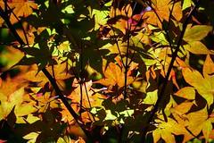 Japanese Maple (larrynunziato) Tags: abstract japanesemaple pattern mapleleafs