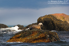 The Classic Rock...Pose (sminky_pinky100 (In and Out)) Tags: atlanticcanada capesableisland seal wildlife sea atlantic waves rocks seaweed landscape animal water canada novascotia omot cans2s outdoors