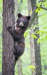 Black Bear Caught in Between (Glatz Nature Photography) Tags: babyanimal bearcub blackbear cute forest glatznaturephotography greatlakes minnesota nature nikond5 northamerica northwoods northernminnesota ursusamericanus vinceshutewildlifesanctuary wildanimal wildlife
