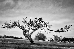 """-20170731 Strength 10-BNW (Laurie2123) Tags: bnw fujixt2 laurieturnerphotography laurietakespics odc ourdailychallenge blackandwhite laurie2123 tree """"del mar park """"powerhouse"""