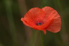 Crepe Paper? (Stefan Zwi.) Tags: poppy poppies mohn mohnblume red rot macro flower blume krepppapier krepp crepe paper ngc npc
