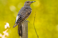 Flicker (mjeedelbr) Tags: flicker northernflicker washington bird animal nature kent wildlife urbanwildlife