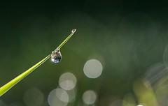 After the rain. DSC_0255 (Kerstin Winters Photography) Tags: bokeh fotografie photography macro closeup nikondsl nikondigital naturfotografie waterdroplet tropfen rain flickr flickrnature outdoor water droplets