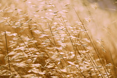 Golden twigs (stefaniebst) Tags: golden plants nature field summer france or canon photography wind vent champ calm carcassonne aude occitanie