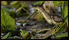 least bittern (f) (Christian Hunold) Tags: leastbittern heron wadingbird bird amerikanischezwergdommel spattedock johnheinznwr philadelphia christianhunold