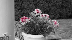 DSC00627 (Aldona Induła) Tags: hoyafilters sony a6000 bezedycji flower garden kwiat notedited ogród prostozaparatu straightfromthecamera