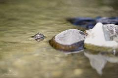 29:52 Dear Frog (Claudia Künkel) Tags: oregon frog creek foothillyellowleggedfrog nearthreatened ranaboylii