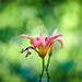 Stretching Out (matt.kueh) Tags: flower plant blume daylily taglilie bokeh bokehlicious vintagelens manualfocus m42 depthoffield swirl helios40285mmf15