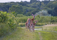 """""""We're being followed!"""" (Tiara Rae Photography) Tags: doe fawns fawn twins baby animals deer whitetails whitetail omaha nebraska lake zorinsky prairie trails"""
