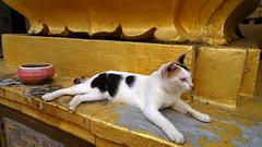 Temple cat - Wat Ounalom (enjosmith) Tags: cat gold temple wat ounalom