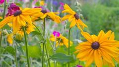Blackeyed Susan (claudeallaert) Tags: blackeyedsusan helios442 lightroom manualfocus ontario ornamentalgardens ottawa russianlens sonyilce7 summer yellow yellowflower