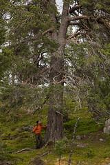 Töfsingdalen II (Gustaf_E) Tags: dalarna forest kväll landscape landskap nationalpark pine pines skog sverige sweden tall töfsingdalen urskog woods