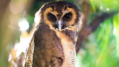 Owl cafe in Japan (4 Leaf Clover) Tags: owl cafe japan harajuku stare nikon nikkor d810 60mm
