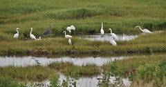 Great Egrets, Snowy Egrets,Great Blue Heron, Glossy Ibis, & Snowy Egret x Tricolored Heron Hybrid (Bill Bunn) Tags: greategrets snowyegrets glossyibis greatblueheron snowyegretxtricoloredheronhybrid scarborough maine