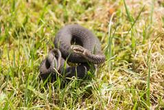 Viper (Yvonne L Sweden) Tags: snake sweden huggorm viper torpet2017 summer adder orm