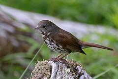 Sooty Fox Sparrow (Passerella unalaschcensis) (Ardeola) Tags: sooty fox sparrow passerella unalaschcensis brunrävsparv lowellpoint seward alaska bird wildlife passerellailiaca foxsparrowsooty