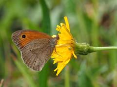 Motyle Schmetterlinge Schmetterling motyl (arjuna_zbycho) Tags: motyle schmetterlinge schmetterling motyl lepidoptera insekten insecta falter tagfalter edelfalter