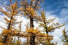 Autumn Larch Trees 9351 (Ursula in Aus) Tags: mongolia wtf asia autumn larch trees chuluutrivergorge chuluutgorge