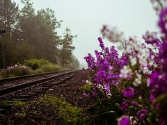 la track un jour de pluie (photosgabrielle) Tags: photosgabrielle traintracks cheminfer fleurs flowers brume mist gaspesie