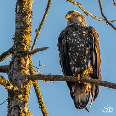 Juvenile Bald Eagle, Port Renfrew, BC (Selkii's Photos) Tags: baldeagle birds britishcolumbia canada eagle haliaeetusleucocephalus portrenfrew portsanjuanbay vancouverisland