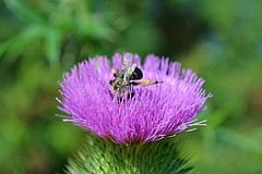 Nose Dive! (DaPuglet) Tags: bee flower insect insects macro nature wildlife thistle plant bumblebee bees sunrays5