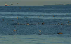 Evening birds (frankmh) Tags: bird sea water landscape evening hittarp skåne öresund sweden