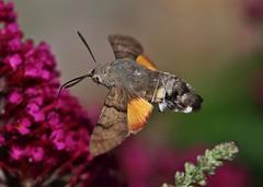 Hummingbird Hawk-moth (Hugo von Schreck) Tags: hugovonschreck hummingbirdhawkmoth macroglossumstellatarum taubenschwänzchen macro makro insect insekt moth motte canoneos5dsr macrolicious tamron28300mmf3563divcpzda010 buzznbugz