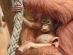 borneo orangutan Suria Krefeld BB2A1041 (j.a.kok) Tags: lea suria orangutan orangoetan borneoorangutan borneoorangoetan borneo azie asia mammal monkey mensaap aap ape animal zoogdier dier krefeld