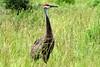 Sandhill Crane (redhorse5.0) Tags: sandhillcrane wildlife nature birds redhorse50 sonya850