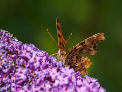 Gehakkelde aurelia - Polygonia c-album - C-falter - Comma-buttterfly (de_frakke) Tags: gehakkeldeaurelia cfalter commabutterfly vlinder mariposa butterfly schmetterling