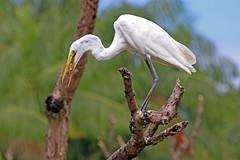 Ardea alba (Rui Pará) Tags: ardea alba belém pará brazil amazon nature natureza birds bird garça