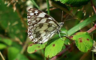 Marbled White Melanargia galathea