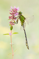 Ophiogomphus cecilia (Marcin Błoch) Tags: afsdxmicronikkor85mmf35gedvr nikond7000 insect flower dragonfly butterfly colors spider stackfocus naturallight