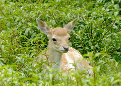 Fallow deer fawn (Corine Bliek) Tags: herten deer nature natuur wildlife mammal zoogdier young baby small klein jong summer newborn