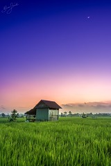 Magenta Rice Fields (brusca) Tags: wonderfulindonesia indonesia explore purple moon colours sumatra ricefields sunset cpl filters nisi