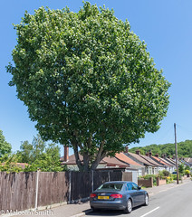The Lone Tree (M C Smith) Tags: pentax k3 tree green sky blue houses parking car forest fence telegraph pole lines pavement black wall bushes plants