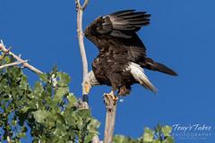 Bald Eagle slips, nearly falls