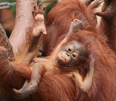 borneo orangutan Suria Krefeld BB2A1029 (j.a.kok) Tags: lea suria orangutan orangoetan borneoorangutan borneoorangoetan borneo azie asia mammal monkey mensaap aap ape animal zoogdier dier krefeld