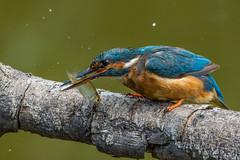 Miss Kingfisher kill the Fish 3/5 (Silu Junior) Tags: kingfisher lasauge birdlife eisvogel fish