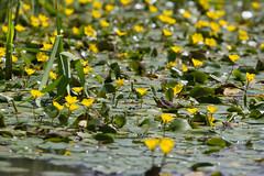 Water Lillies (ArtGordon1) Tags: walthamstow london england uk walthamforest davegordon davidgordon daveartgordon davidagordon daveagordon artgordon1 plants waterlillies yellowflowers aquaticplants